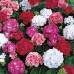 Geranium_Maverick-mix__25452_zoom