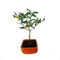 Bonsai Naranjo Viveroonline.com.co-4