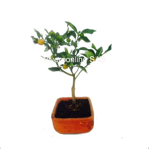 Bonsai Naranjo Viveroonline.com .co 4