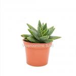 Perfoliata