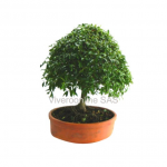 Bonsai Viveroonline.com.co