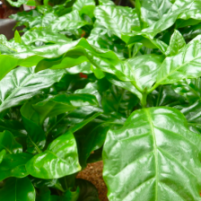 Planta Cade Viveroonline.com.co